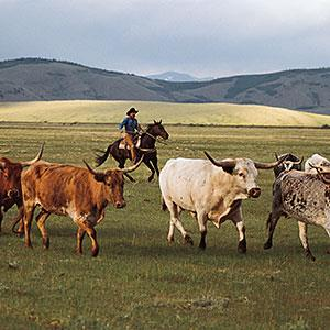 Cowboy herding longhorn cattle near Fairplay, Colo. copyright Comstock, Getty Images