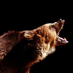 Brown bear (Ursus arctos) roaring, side view (&#169; Ryan McVay/Digital Vision/Getty Images)
