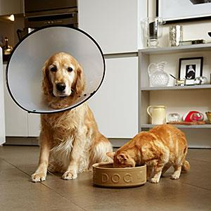 Golden retriever dog with medical collar sitting next to ginger tabby cat eating out of dog
