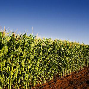 Corn field copyright Sean Way, Design Pics, Corbis