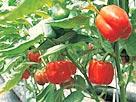 Image: Peppers (© imageDJ/Jupiterimages)