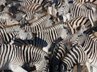 Image: Zebras (&#169; Theo Allofs/Corbis)