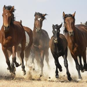 A herd of Mustangs (Tim Flach/Riser/Getty Images)