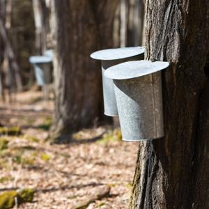 Maple syrup (Amy Riley/E+/Getty Images)