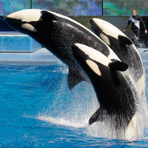 Killer whales perform at Shamu Stadium at the SeaWorld Orlando theme park in Orlando, Fla. On March 7, 2011 ( Phelan M. Ebenhack/AP Photo)