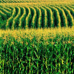 Corn field -- Bob Rashid, Brand X, Corbis