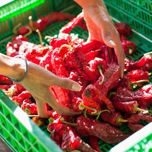Stock photo of a woman gathering red chile peppers (© John Lund/Marc Romanelli/Getty Images)