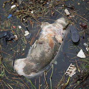 A dead pig floats in the Shaghai River on the outskirts of Shanghai, China on Monday (© AP)