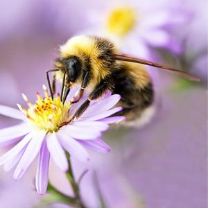 Honey bee pollinating flower (© Flickr Open/Getty Images)