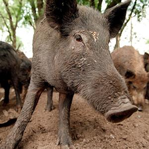 Feral pigs, like these shown in 1999 in Stephensville, Texas, are becoming a nuisance across the country (© Rodger Mallison/Fort Worth Star-Telegram/MCT via Getty Images)