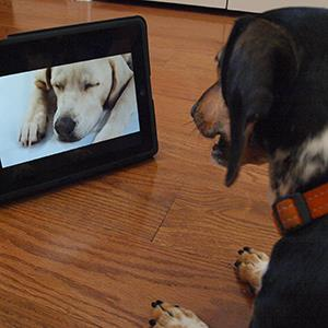 'Bandit' the dog watches Dog TV on May 10, 2012 in Washington, DC (© Brendan Smialowski/AFP/Getty Images)