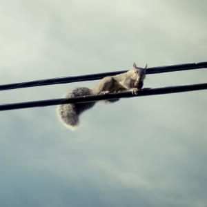 Squirrel on a power line (© persnicketydame/Flickr/Getty Images)