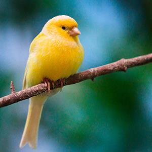 canary © Getty Images
