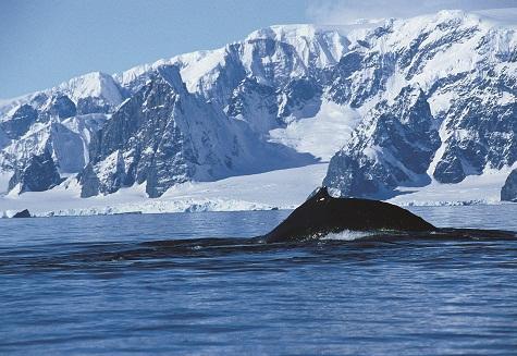 Ballena jorobada. Antártida. Foto: Sebastián Álvaro