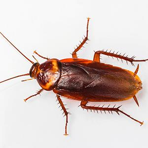 American cockroach © Smith Chetanachan/Getty Images