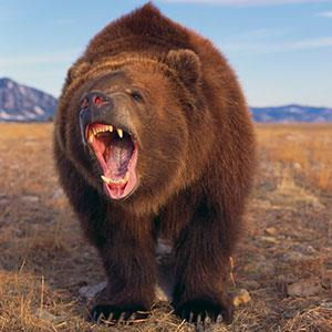 Image: Bear © DLILLC, Corbis