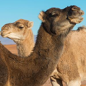 Two camels and a blue sky © Keith Levit/Design Pics/Corbis